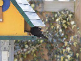 Geflügelinfluenza: Gartenvögel können gefüttert werden